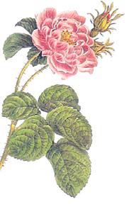 Rosa centifolia est apparue en Hollande au 19e siècle.